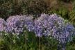 Symphyotrichum laeve 'Bluebird' - Smooth Aster